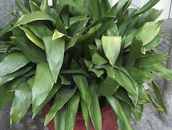 Aspidistra o pianta di ferro (Aspidistra elatior liliaceae)