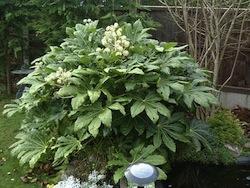 Aralia o fatsia (Aralia japonica araliacee)