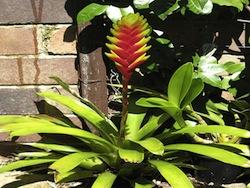 Vriesea (Vriesea splendens bromeliacee)
