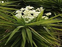 Yucca (Yucca elephantipes agavaceae)